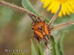 Carpocoris-fuscipinus-web-o