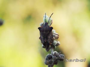 Carpocoris-fuscispinus-o-mediterraneus-web