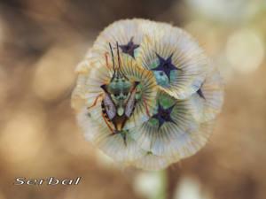 Corpocoris-fuscipinus-az-web