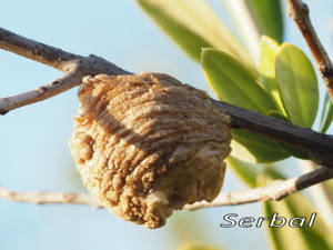 Ooteca-Mantis-web