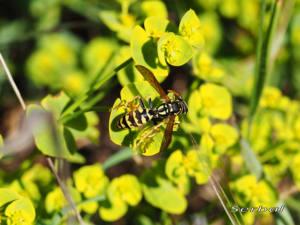 Polistes-gallicus1-web