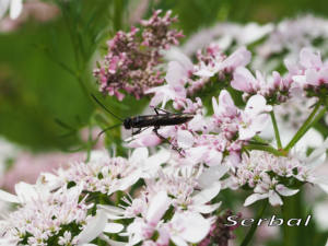 Trachelus-tabidus-(2)web