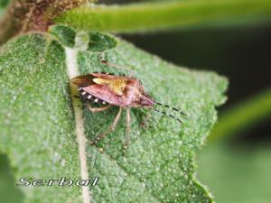 Dolycoris-baccarum-web