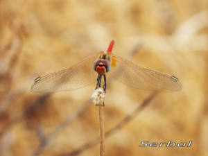 Sympetrum-fonscolombei-macho1-web
