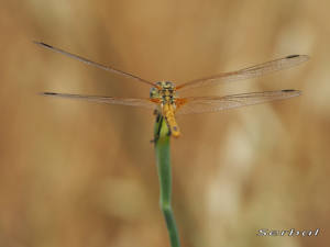 sympetrum-fonscolombei-web