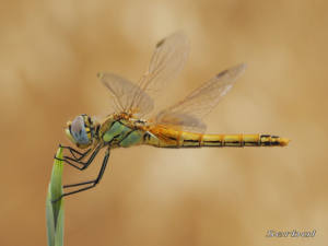 sympetrum-fonscolombei1-web