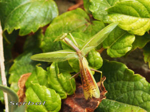 iris-oratoria-o-mantis-mediterranea-web