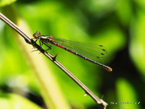 Pyrrhosoma-nymphula-web