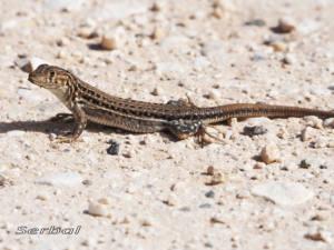 acanthodactylus-erythrurus-web