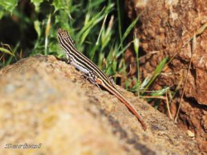 acanthodactylus-erythrurus2-web