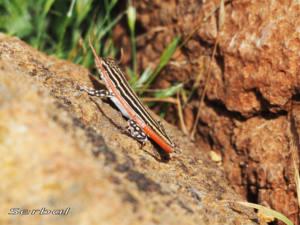acanthodactylus-erythrurus3-web