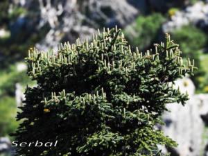 Pinsapo-flor-femenina-web