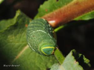 laothoe-populi2-web