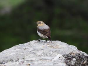 collalba-gris-hembra-may16-web