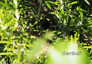 Curruca-cabecinegra-nido-web