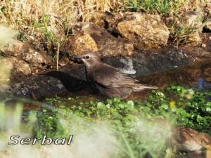 Estornino-negro-joven