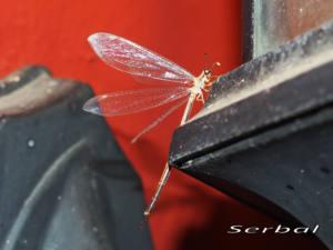Macronemurus-appendiculatus-web