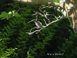 Papamoscas-gris-web
