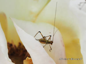 Phaneroptera-nana-ninfa-(2)web