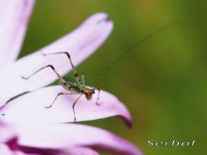 Phaneroptera-nana-ninfa-(4)web