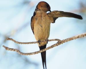 golondrina-daurica-web