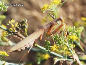 Mantis-m-web