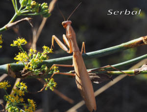 Mantis-religiosa-m-web