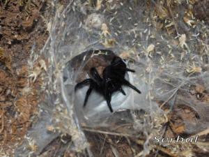 Macrothele-calpeiana-(2)web
