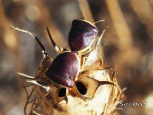 Ventocoris-rusticus-web(2)