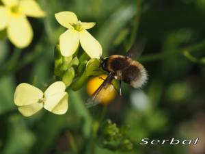 Bombylius-sp3-web-bv