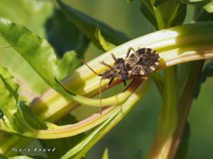 Centrocoris-variegatus-web
