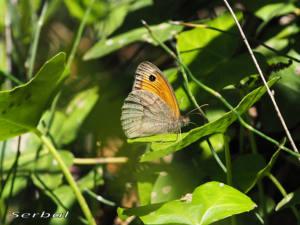 maniola-jurtina1-may16-web