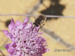 Mosca-abeja-web-Bombylius