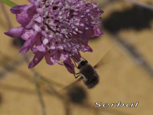 Mosca-abeja-web1-Bombylius