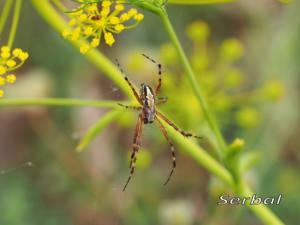 Aculepeira-armida-(1)web