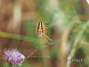 Aculepeira-armida-(2)web
