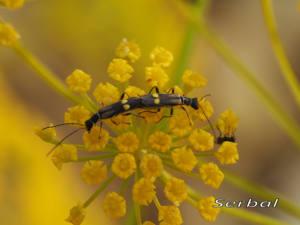 Malthius-fasciatus-(2)web