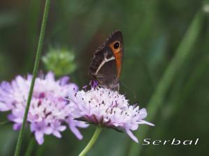 (Pyronia-bathseba-web