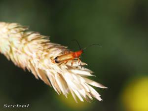 rhagonycha-fulva-web