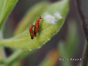 Rhagonycha-fulva.-Escarabajo-coracero.-(2)web