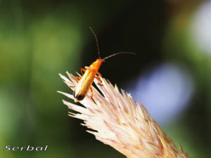 rhagonycha-fulva1-web