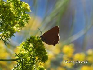 Satyricum-esculi-web