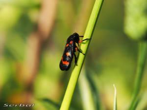 cercopis-intermedia-may16-web