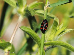 cercopis-intermedia1-may16-web