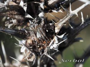 Agalenatea redii1-web