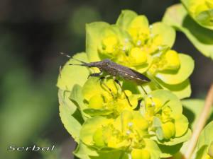 Dicranocephalus-albipes-web