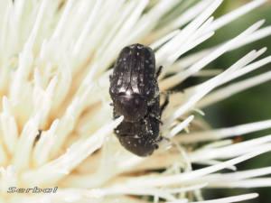 escarabajo-del-sudario-jun6-web