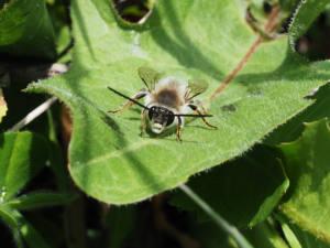 Eucera-sp1web