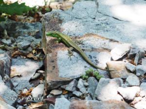 Iberolacerta-monticola-Asturiana-web-macho