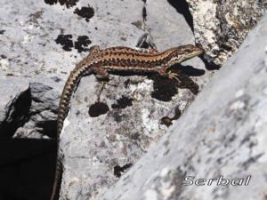 Podarcis-mularis-macho-(Lagartija-roquera)1web
